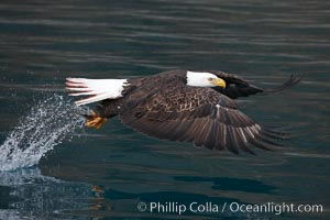 Bald eagle makes a splash while in flight as it takes a fish out of the water. Kenai Peninsula, Alaska, USA, Haliaeetus leucocephalus, Haliaeetus leucocephalus washingtoniensis, natural history stock photograph, photo id 22606