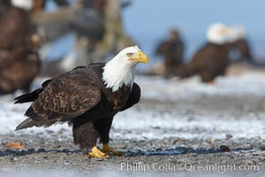 Bald eagle, standing on snow-covered ground, other bald eagles in the background, Haliaeetus leucocephalus, Haliaeetus leucocephalus washingtoniensis, Kachemak Bay, Homer, Alaska
