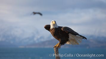 Bald eagle, sidelit, wings partially raised as its balances on wooden perch, Kachemak Bay, clouds and Kenai Mountains in background, Haliaeetus leucocephalus, Haliaeetus leucocephalus washingtoniensis, Homer, Alaska