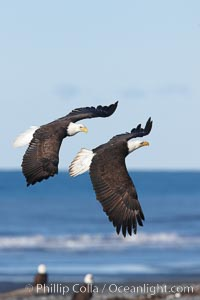 Two bald eagles in flight, banking, wings spread, over beach and Kachemak Bay, Haliaeetus leucocephalus, Haliaeetus leucocephalus washingtoniensis, Homer, Alaska