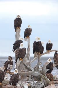 "Group of bald eagles, part of a group of several hundred, perched on wooden driftwood stumps, waiting to be fed frozen fish on a winter morning, part of the Homer ""Eagle Lady's"" winter feeding program, Haliaeetus leucocephalus, Haliaeetus leucocephalus washingtoniensis, Kachemak Bay"