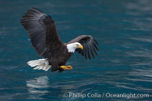 Bald eagle in flight spreads its wings and raises its talons as it prepares to grasp a fish out of the water. Kenai Peninsula, Alaska, USA, Haliaeetus leucocephalus, Haliaeetus leucocephalus washingtoniensis, natural history stock photograph, photo id 22666