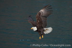 Bald eagle in flight over water, wings raised, talons hanging, Haliaeetus leucocephalus, Haliaeetus leucocephalus washingtoniensis, Kenai Peninsula, Alaska