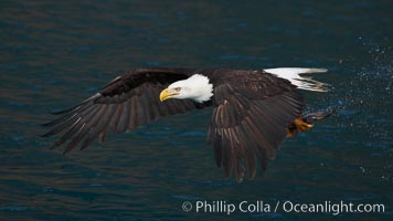 Bald eagle in flight drips water as it carries a fish in its talons that it has just pulled from the water, Haliaeetus leucocephalus, Haliaeetus leucocephalus washingtoniensis, Kenai Peninsula, Alaska