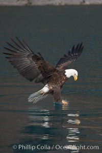 Bald eagle in flight reaches into the water with its talons to grasp a fish, Haliaeetus leucocephalus, Haliaeetus leucocephalus washingtoniensis, Kenai Peninsula, Alaska