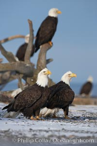 Several bald eagles stand on snow covered ground or drift wood, Haliaeetus leucocephalus, Haliaeetus leucocephalus washingtoniensis, Kachemak Bay, Homer, Alaska