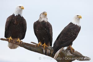 Three bald eagles stand together on wooden perch, Haliaeetus leucocephalus, Haliaeetus leucocephalus washingtoniensis, Kachemak Bay, Homer, Alaska