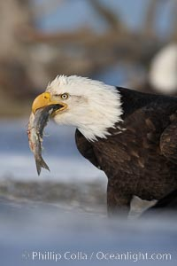 Bald eagle eating a fish, standing on snow-covered ground, other bald eagles visible in background, Haliaeetus leucocephalus, Haliaeetus leucocephalus washingtoniensis, Kachemak Bay, Homer, Alaska