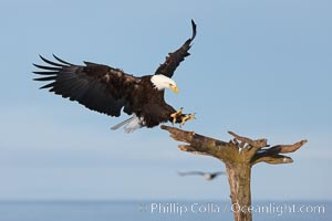 Bald eagle in flight, spreads its wings wide to slow before landing on a wooden perch, Haliaeetus leucocephalus, Haliaeetus leucocephalus washingtoniensis, Kachemak Bay, Homer, Alaska