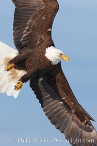 Bald eagle in flight, banking at a steep angle before turning and diving, wings spread, Haliaeetus leucocephalus, Haliaeetus leucocephalus washingtoniensis, Kachemak Bay, Homer, Alaska