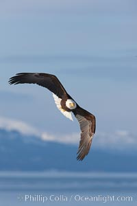 Bald eagle in flight, Kachemak Bay and the Kenai Mountains in the background. Kachemak Bay, Homer, Alaska, USA, Haliaeetus leucocephalus, Haliaeetus leucocephalus washingtoniensis, natural history stock photograph, photo id 22617