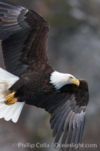 Bald eagle in flight, banking at a steep angle before turning and diving, wings spread, Haliaeetus leucocephalus, Haliaeetus leucocephalus washingtoniensis, Kenai Peninsula, Alaska