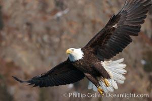 Bald eagle in flight, wings spread, brown mountain slope in background, Haliaeetus leucocephalus, Haliaeetus leucocephalus washingtoniensis, Kenai Peninsula, Alaska