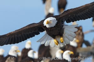 Bald eagle in flight, closeup, flying just over the ground with many bald eagles visible in the background, Haliaeetus leucocephalus, Haliaeetus leucocephalus washingtoniensis, Kachemak Bay, Homer, Alaska