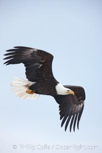 Bald eagle in flight, wing spread, aloft, soaring, Haliaeetus leucocephalus, Haliaeetus leucocephalus washingtoniensis, Kachemak Bay, Homer, Alaska