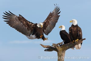 Bald eagle in flight spreads its wings wide while slowing to land on a perch already occupied by other eagles. Kachemak Bay, Homer, Alaska, USA, Haliaeetus leucocephalus, Haliaeetus leucocephalus washingtoniensis, natural history stock photograph, photo id 22611