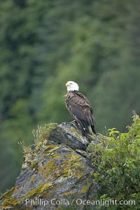 Bald eagle, Haliaeetus leucocephalus, Kenai Fjords National Park, Alaska