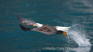 Bald eagle makes a splash, while in flight as it takes a fish out of the water, Haliaeetus leucocephalus, Haliaeetus leucocephalus washingtoniensis, Kenai Peninsula, Alaska