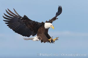 Bald eagle in flight, wings spread as it slows to land, talons raised, Haliaeetus leucocephalus, Haliaeetus leucocephalus washingtoniensis, Kachemak Bay, Homer, Alaska