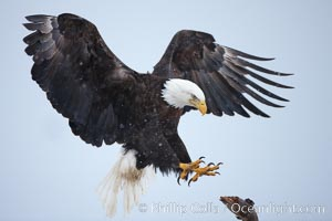 Bald eagle in flight, spreads its wings wide to slow before landing on a wooden perch, snow falling, Haliaeetus leucocephalus, Haliaeetus leucocephalus washingtoniensis, Kachemak Bay, Homer, Alaska