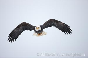 Bald eagle in flight, snow falling, overcast sky, Haliaeetus leucocephalus, Haliaeetus leucocephalus washingtoniensis, Kachemak Bay, Homer, Alaska