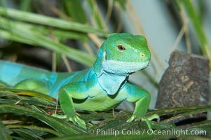 Banded iguana, male.  The bands of color on the male of this species change from green to either blue, grey or black, depending on mood.  Females are usually solid green, ocassionally with blue spots or a few narrow bands, Brachylophus fasciatus