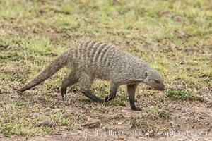 Banded mongoose, Maasai Mara, Kenya. Maasai Mara National Reserve, Kenya, Mungos mungo, natural history stock photograph, photo id 29847