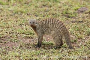 Banded mongoose, Maasai Mara, Kenya, Mungos mungo, Maasai Mara National Reserve