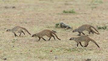 Banded mongoose, Maasai Mara, Kenya, Mungos mungo, Olare Orok Conservancy