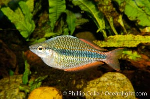 Banded rainbowfish, native to rivers of southern China to Vietnam., Melanotaenia trifasciata, natural history stock photograph, photo id 09800