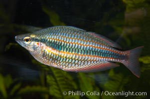 Banded rainbowfish.  The banded rainbowfish, from the Goyder River in Australias Northwest Territory, is evolving into a separate species (from other rainbowfishes), has assumed a narrow range and has developed a unique coloration, Melanotaenia trifasciata