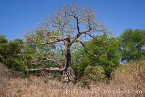 Baobab Tree, Meru National Park, Kenya. Meru National Park, Kenya, Adansonia digitata, natural history stock photograph, photo id 29661