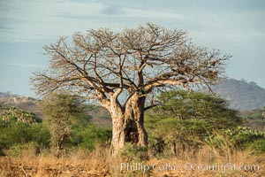 Baobab Tree, Meru National Park, Kenya, Adansonia digitata