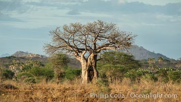 Baobab Tree, Meru National Park, Kenya. Meru National Park, Kenya, Adansonia digitata, natural history stock photograph, photo id 29683
