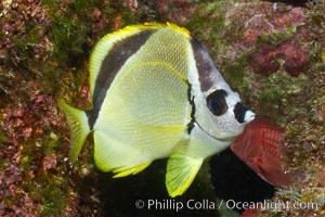 Barberfish, Sea of Cortez, Baja California, Mexico. Sea of Cortez, Baja California, Mexico, Johnrandallia nigrirostris, natural history stock photograph, photo id 27494