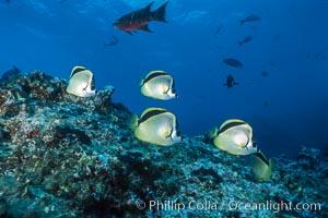 Barberfish. Socorro Island (Islas Revillagigedos), Baja California, Mexico, Johnrandallia nigrirostris, natural history stock photograph, photo id 05060