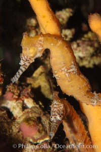 Barbours seahorse, Hippocampus barbouri