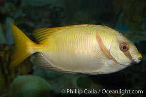 Barred spinefoot rabbitfish, daytime coloration, Siganus doliatus