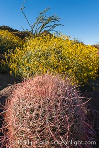 Barrel Cactus and Brittlebush in Anza Borrego Desert State Park, during the 2017 Superbloom, Anza-Borrego Desert State Park, Borrego Springs, California