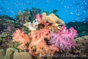 Photographed throughout the Bligh Waters of Fiji, the Soft Coral Capital of the World