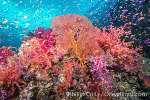 Beautiful tropical reef in Fiji. The reef is covered with dendronephthya soft corals and sea fan gorgonians, with schooling Anthias fishes swimming against a strong current. Gau Island, Lomaiviti Archipelago, Fiji, Dendronephthya, Pseudanthias, Gorgonacea, natural history stock photograph, photo id 31328