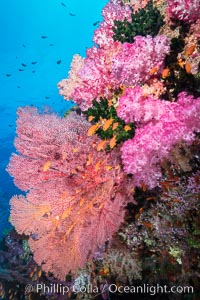 Beautiful tropical reef in Fiji. The reef is covered with dendronephthya soft corals and sea fan gorgonians, with schooling Anthias fishes swimming against a strong current, Dendronephthya, Pseudanthias, Gorgonacea, Vatu I Ra Passage, Bligh Waters, Viti Levu  Island