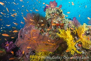 Beautiful tropical reef in Fiji. The reef is covered with dendronephthya soft corals and sea fan gorgonians, with schooling Anthias fishes swimming against a strong current, Dendronephthya, Pseudanthias, Gorgonacea