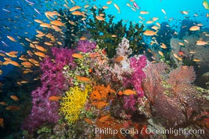 Beautiful tropical reef in Fiji. The reef is covered with dendronephthya soft corals and sea fan gorgonians, with schooling Anthias fishes swimming against a strong current, Dendronephthya, Pseudanthias, Gorgonacea, Tubastrea micrantha