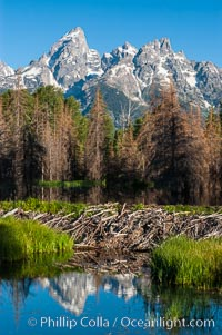 A beaver dam floods a sidewater of the Snake River, creating a pond near Schwabacher Landing., Castor canadensis,  Copyright Phillip Colla, image #07341, all rights reserved worldwide.
