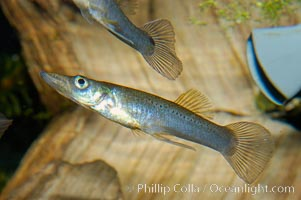 Topminnow, a freshwater fish native to central America, Belonesox belizanus