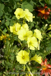 Bermuda buttercup, Batiquitos Lagoon, Carlsbad, Oxalis pes-caprae