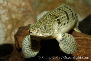 Bichir., Polypterus, natural history stock photograph, photo id 09270