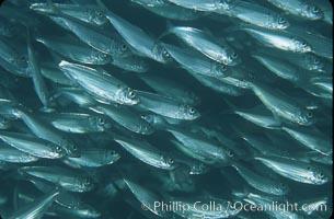 Bigeye scad, schooling, Selar crumenophthalmus, Sea of Cortez, La Paz, Baja California, Mexico