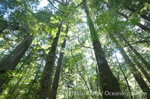 The Big Tree Trail on Meares Island, temperate rainforest home to huge red cedar and spruce trees, Meares Island Big Trees Trail, Tofino, British Columbia, Canada